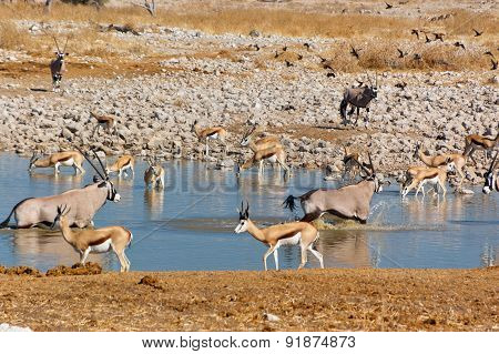 Antelopes drinking from waterhole. African nature and wildlife reserve, Etosha, Namibia