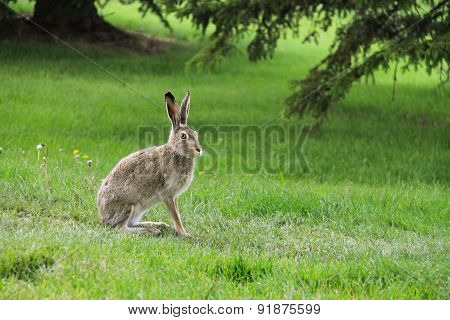 Wild hare on grass in the forest