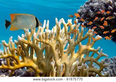 Millepora Fire Coral