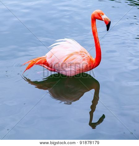 Pink Flamingo In Water, Square Photo