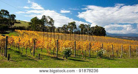 Yarra Valley Vines in Autumn