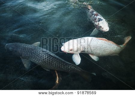 Group Of Big Carps Floats In Blue Water, Stylized Photo