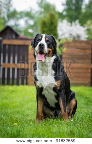 greater swiss mountain dog outdoors