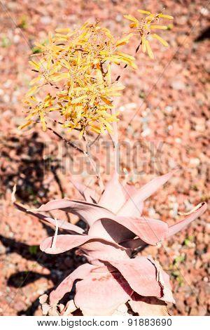 Aloe reynoldsii variety plant