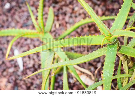 Aloe camperi variety plant