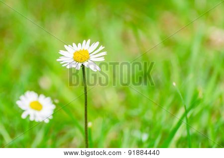 Focus On One Single Common Daisy - Bellis Perenni - With Blurred Green Grass Background