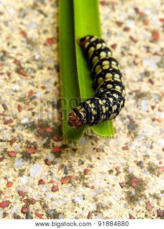 Amaryllis Caterpillar on leaf