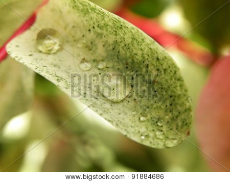 Water droplets on Ice Cream bush