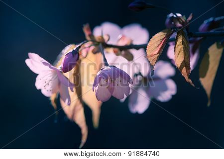 Sakura Flowers.