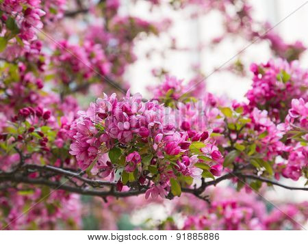 Crabapple Blossoms In The Spring
