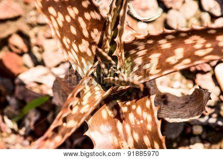 aloe greenii plant leaves