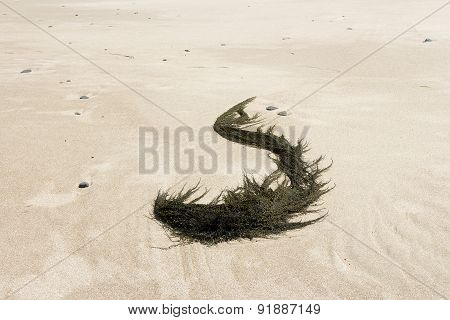 The S curved Seaweed