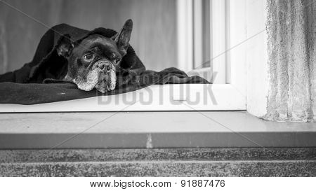 French Bulldog lying on the windowsill of the house. Black and white photography.