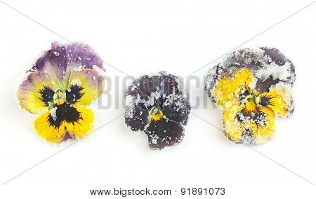 Candied sugared violet flowers, isolated on white