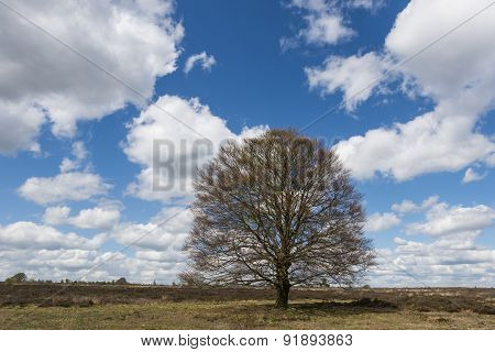 Beech Tree At A Heather