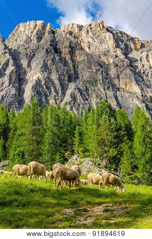 Flock of sheep in pasture foothills, Dolomites