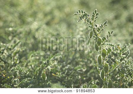 Peas Plantation Backlit