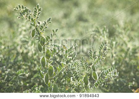 Growing Peas Inside