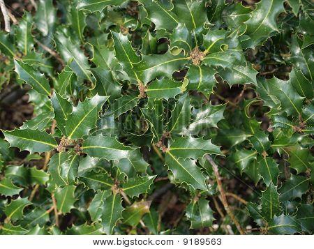 Holly Christmas plant
