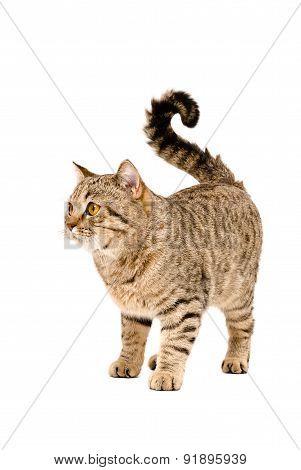 Adorable cat Scottish Straight