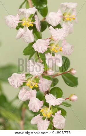 Barbados Cherry (malpighia Oxycocca)