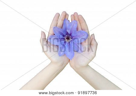 One Flower Purple Clematis In Hands