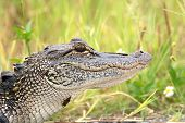stock photo of swamps  - Portrait of a young American alligator in a Florida swamp