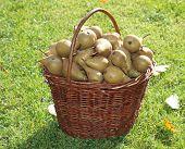 stock photo of bohemia  - autumn pear harvest south Bohemia  - JPG