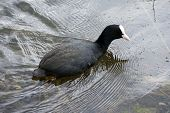 picture of mosquito  - A coot hunting and looking at the water surface for mosquitoes - JPG