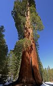 foto of sequoia-trees  - Sequoia National Park is a national park in the southern Sierra Nevada east of Visalia, California, in the United States. The park is famous for its giant sequoia trees, including the General Sherman tree, one of the largest trees on Earth. - JPG