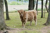 stock photo of highland-cattle  - Outdoor portrait of a shaggy highland cattle looking at the viewer among spring trees and plowed farmland - JPG