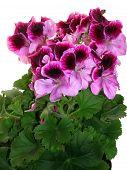 stock photo of plant species  - Geranium is a genus of 422 species of flowering annual - JPG