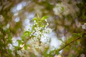 image of cherry  - Blooming branches of cherry-tree, cherry. Made by famous soviet lens Helios 40 with soft focus and beautiful bokeh.