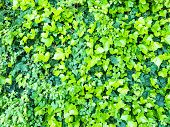 picture of ivy vine  - background composed of green leaves of ivy - JPG