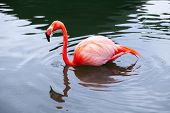 stock photo of pink flamingos  - Pink flamingo walks in the water with reflections - JPG