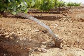 image of tierra  - Vines plantation roots at Tierra de Barros Region with its unique red soil Extremadura Spain - JPG