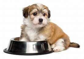 stock photo of sate  - Cute hungry Bichon Havanese puppy dog is sitting next to a metal food bowl and waiting for feeding  - JPG