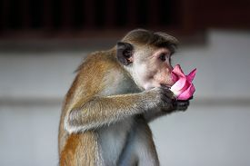 picture of macaque  - A macaque - JPG