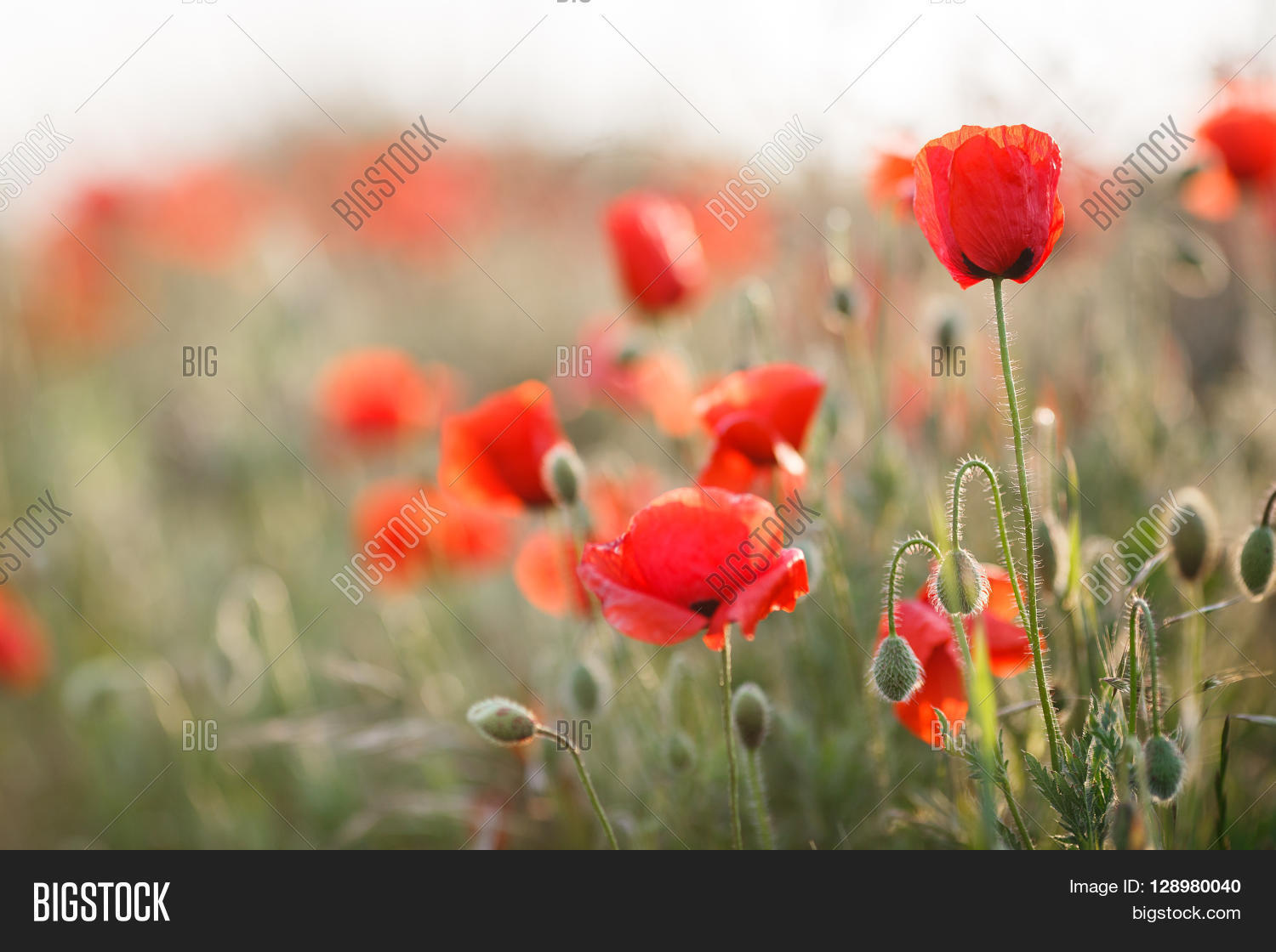 Bright Red Flowers Of The Wild Poppy Field On A Summer Green Meadow Open With