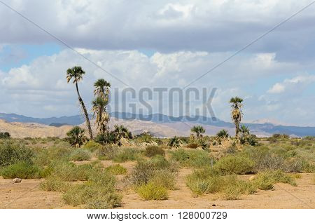 Doum palm (Hyphaene Thebaica) trees and typical low desert vegetation in the Arava desert north of Eilat, Israel, on a partly cloudy day.