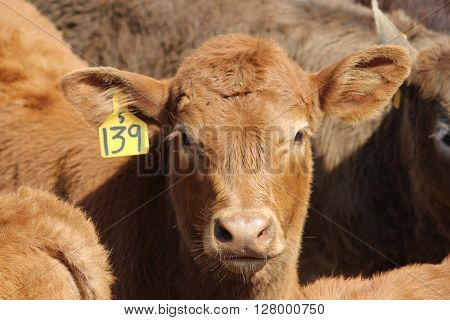 Close up of Red Angus calf head