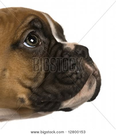 Puppy Boxer, 2 months old, looking up in front of white background