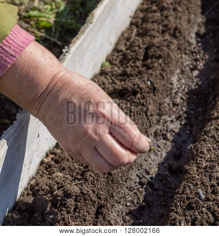 Sowing of seed in the prepared furrows in the soil