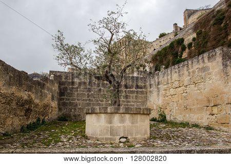 Unesco Olive Tree In Matera, Basilicata, Italy. Sassi Di Matera
