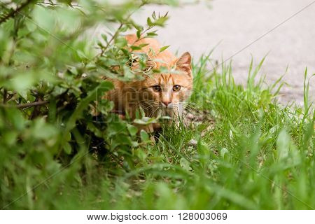 Beautiful alert cat sitting in the field and hiding under the bush in summer