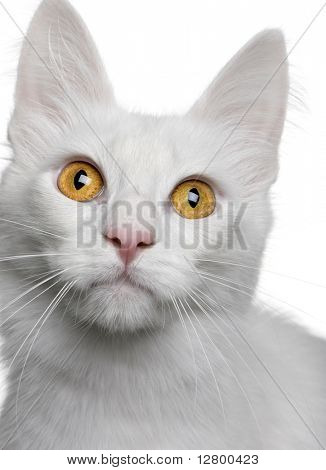 close up of a Turkish Angora (18 months old) in front of a white background
