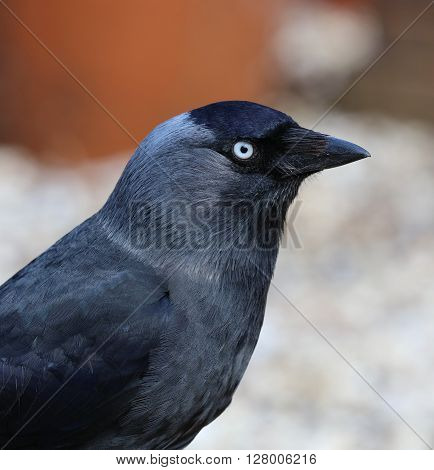 Close up of a Jackdaw with piercing eye