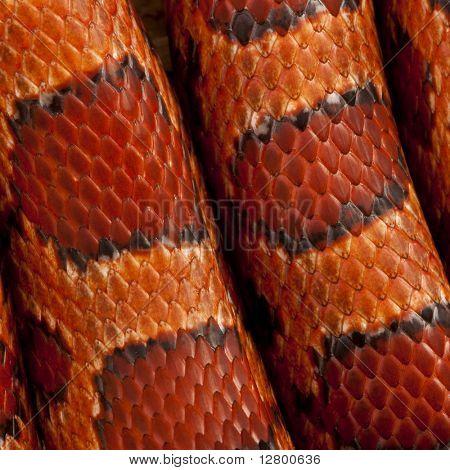 Close-up of corn snakeskin or red rat snakeskin, Pantherophis guttattus