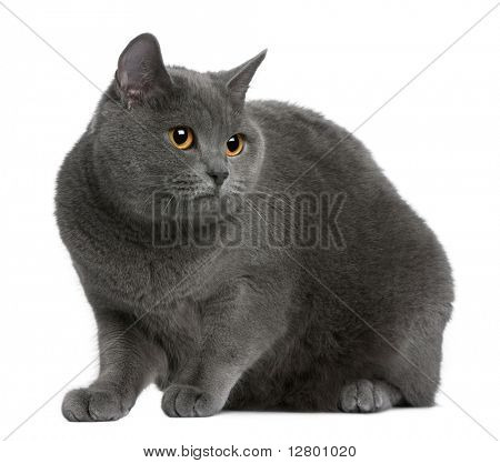 Chartreux cat sitting in front of white background