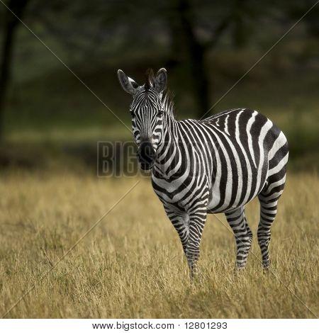 Zebra, Serengeti National Park, Serengeti, Tanzania, Africa